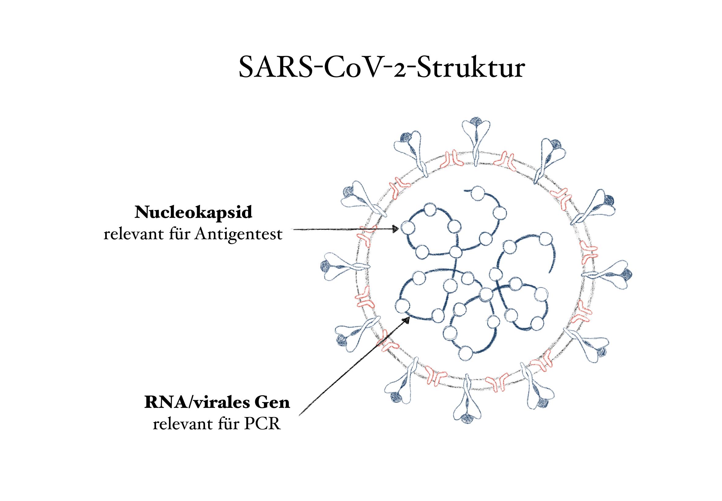 Struktur von SARS-CoV-2 Viren