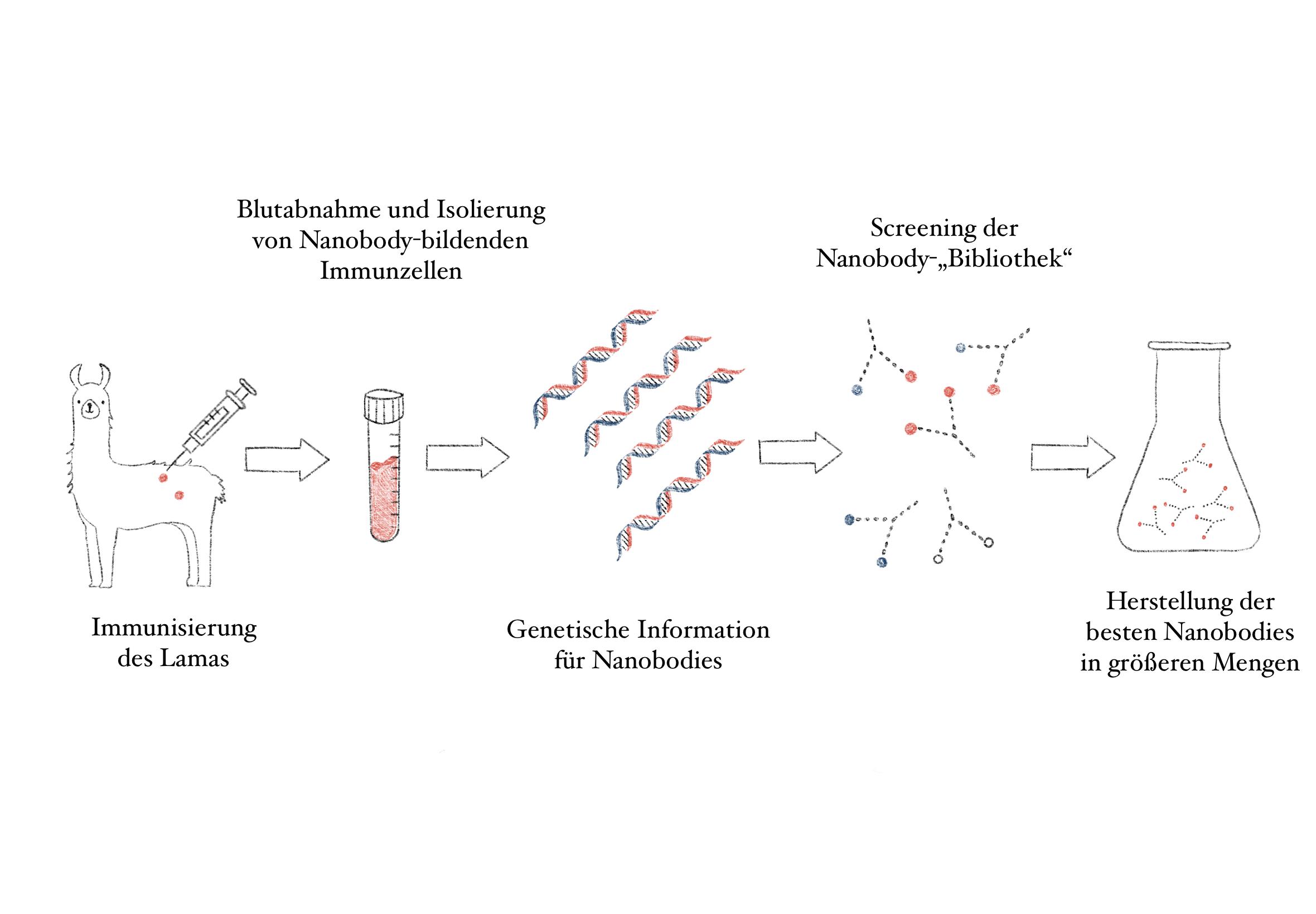 Wie Nanobodies als Antikörper gewonnen werden
