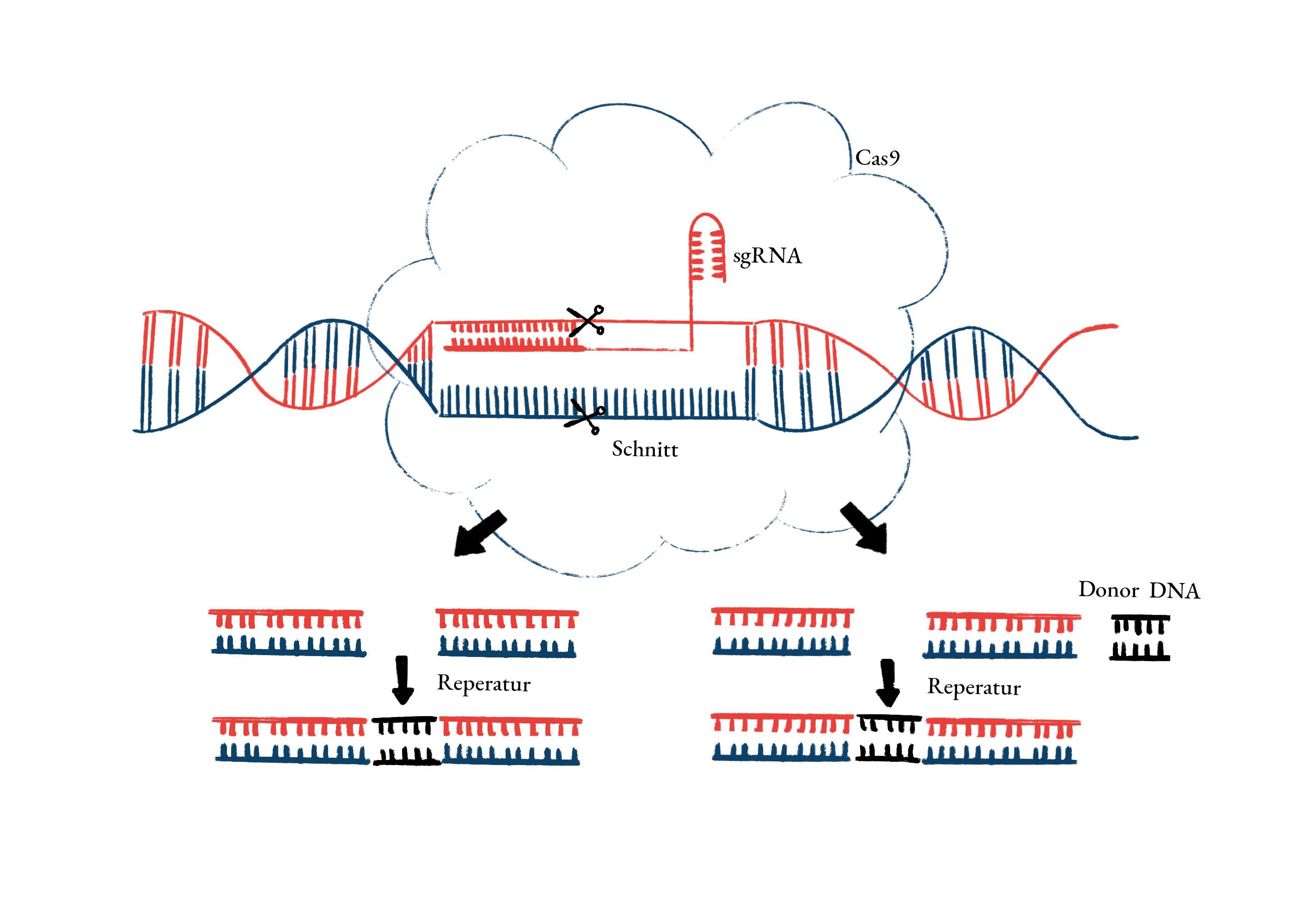 Genschere CRISPR
